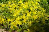 Sedum, Yellow Goldmoss ground cover in Naperville, Illinois